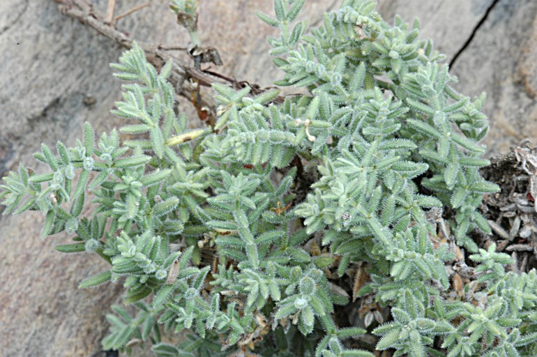 Galium clementis