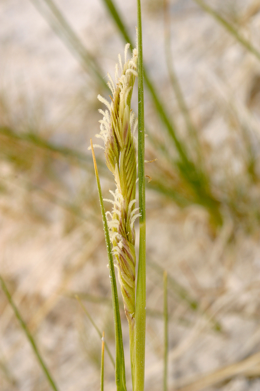 Spartina gracilis