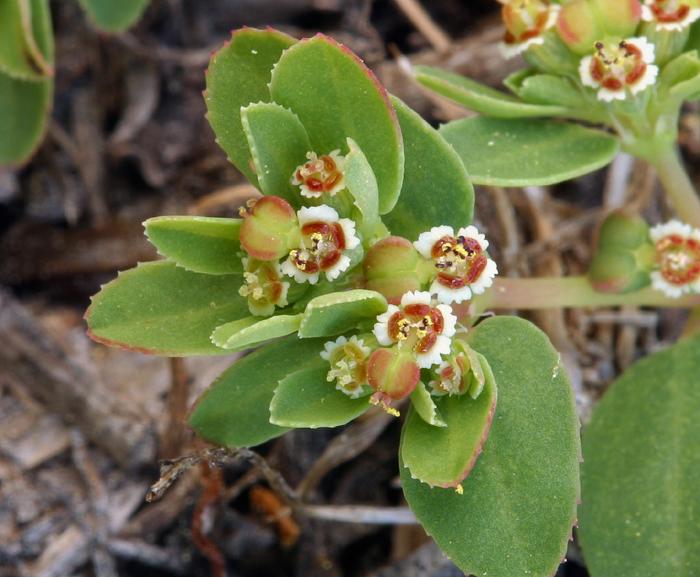 Euphorbia serpillifolia ssp. serpillifolia
