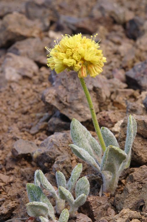 Eriogonum ovalifolium var. ovalifolium