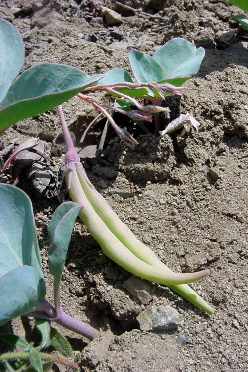 Cycladenia humilis var. venusta