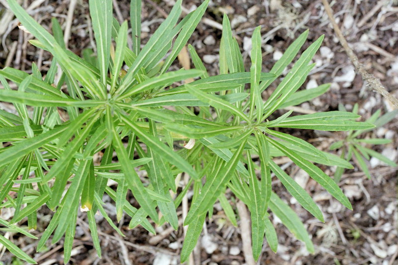 Erysimum insulare ssp. suffrutescens