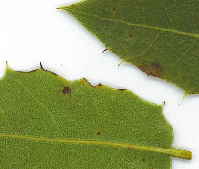 Quercus parvula