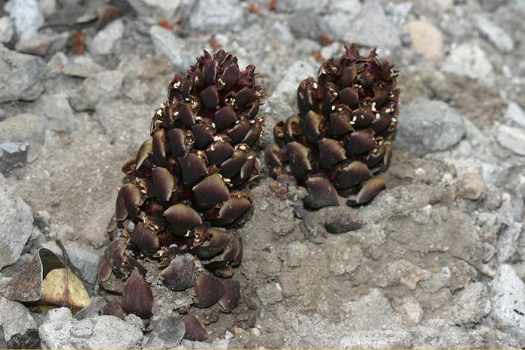 Kopsiopsis strobilacea
