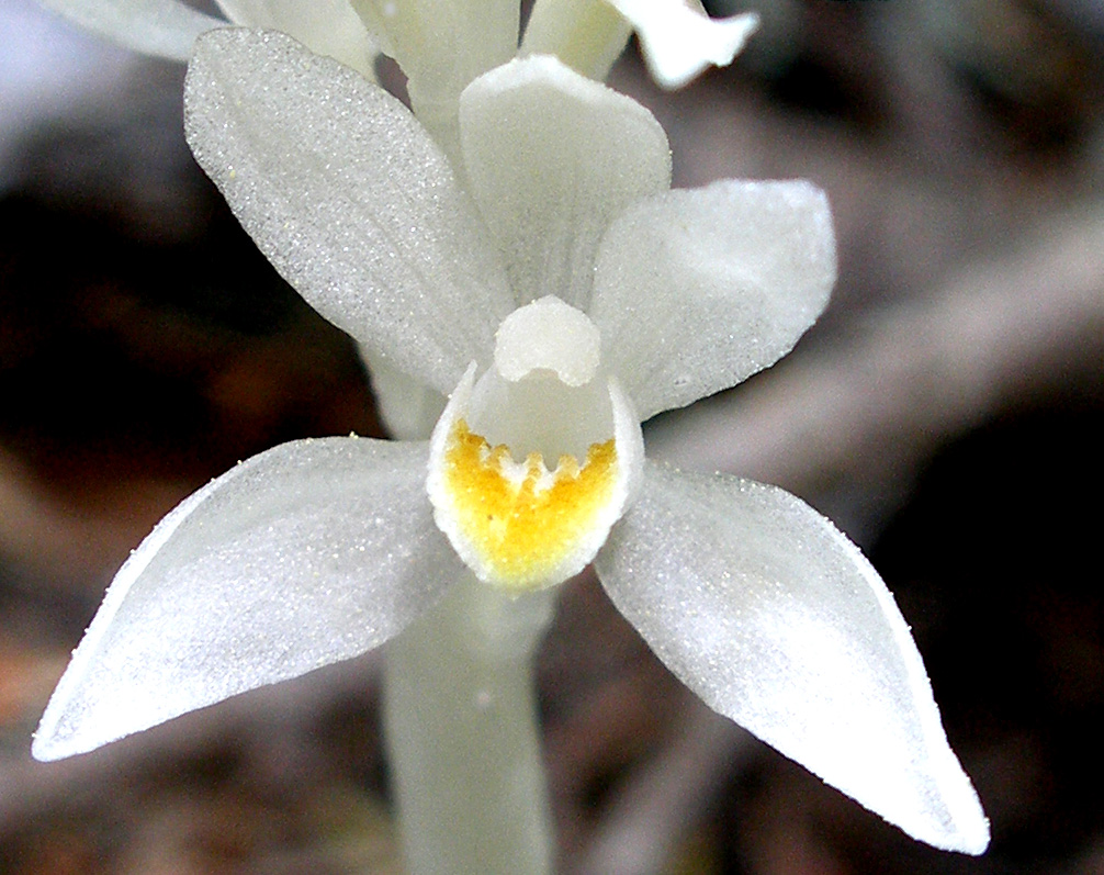 Cephalanthera austiniae
