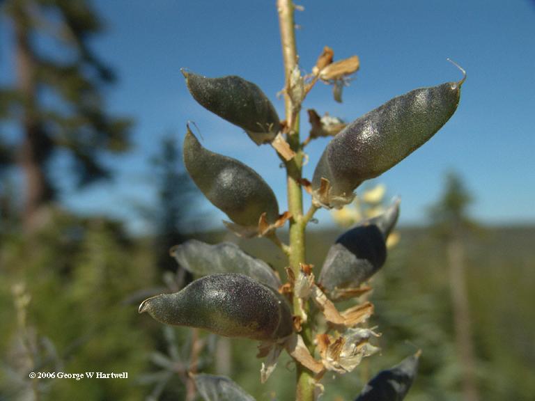 Lupinus angustiflorus
