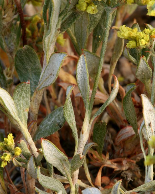Eriogonum microthecum var. ambiguum