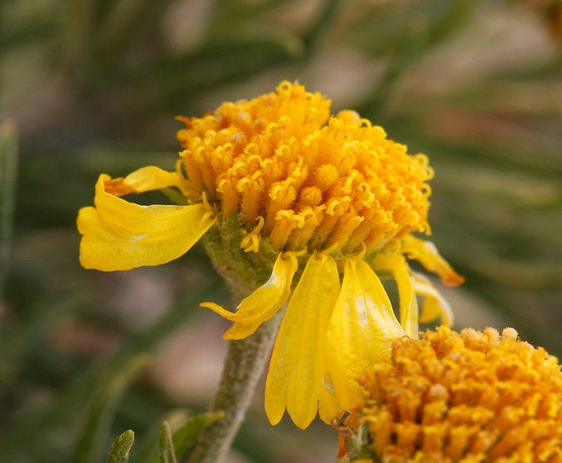 Hymenoxys lemmonii