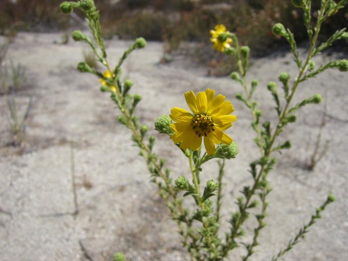 Deinandra floribunda