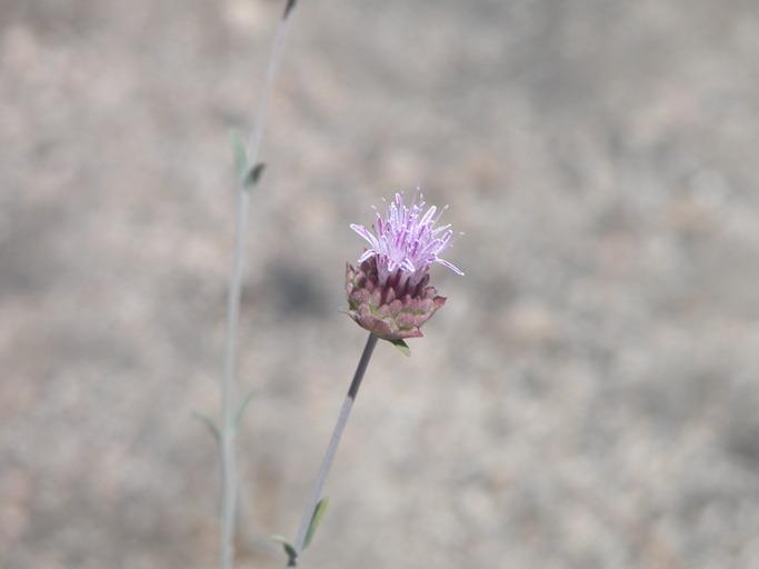 Monardella australis