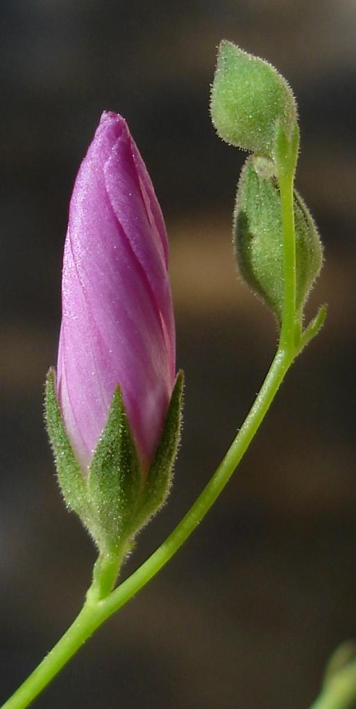 Sidalcea asprella