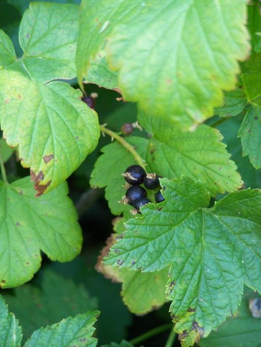 Ribes hudsonianum