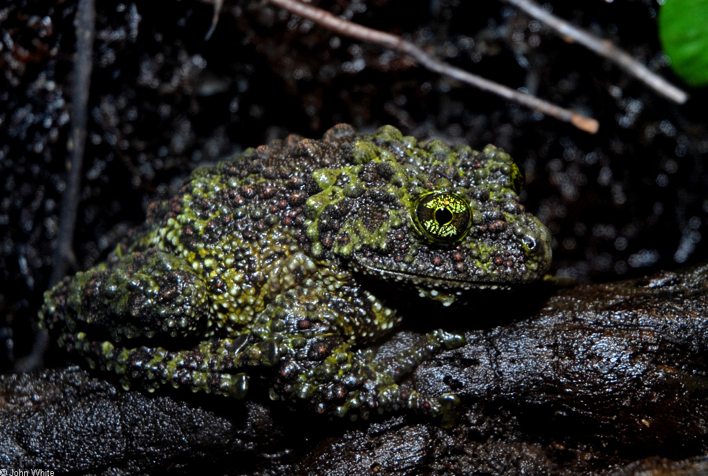 Mossy Frog (Theloderma corticale)