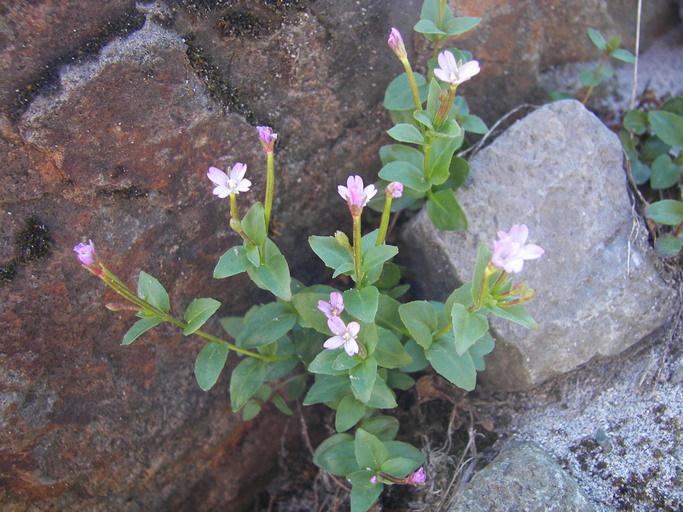 Epilobium anagallidifolium