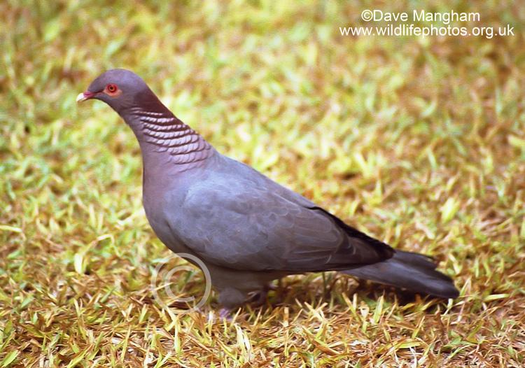 Mangoverde World Bird Guide Photo Page Scaly naped Pigeon Patagioenas squamosa