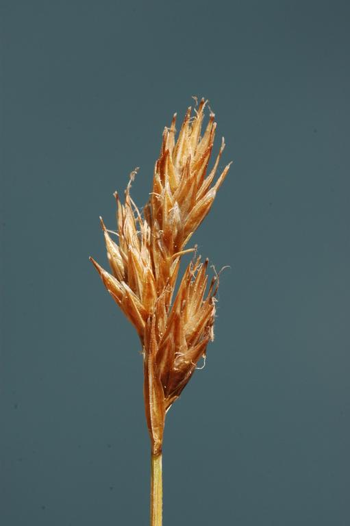 Carex constanceana
