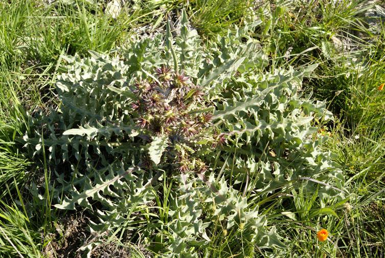 Cirsium fontinale