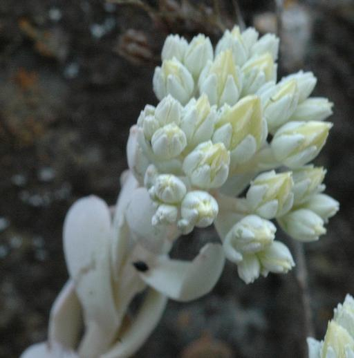 Sedum oblanceolatum
