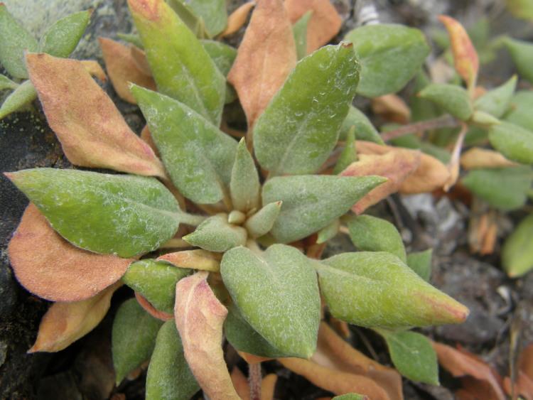 Eriogonum ursinum var. erubescens