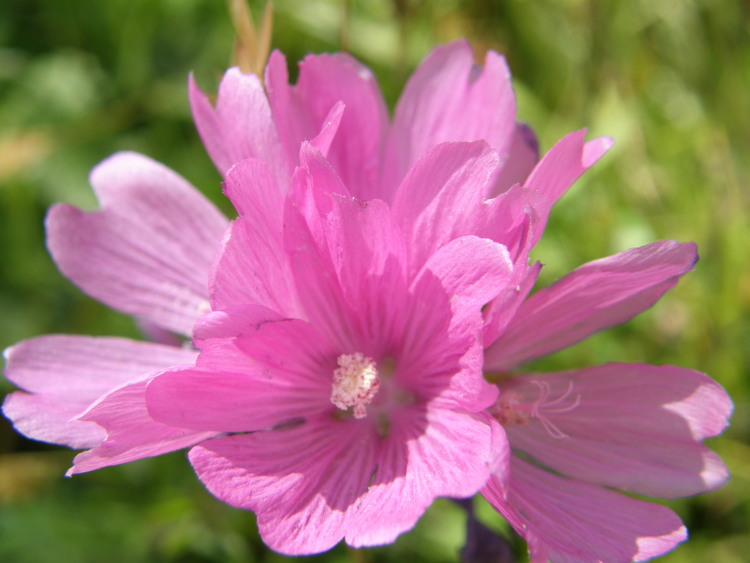 Sidalcea malviflora ssp. patula