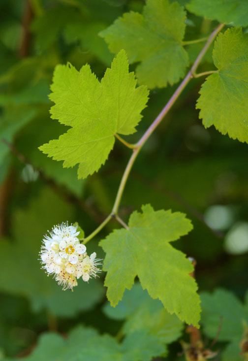 Physocarpus capitatus