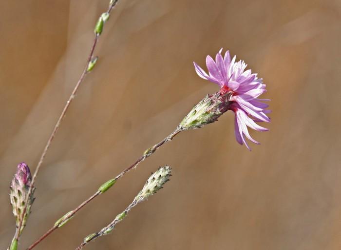 Lessingia arachnoidea