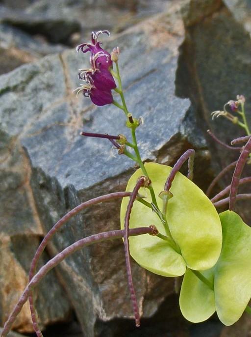 Streptanthus tortuosus var. orbiculatus
