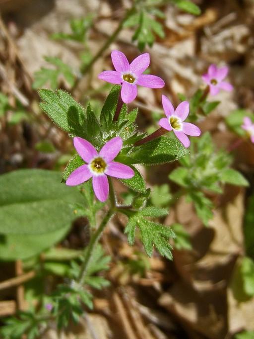 Collomia heterophylla