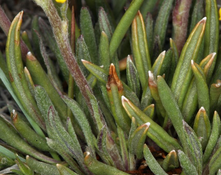Packera werneriifolia
