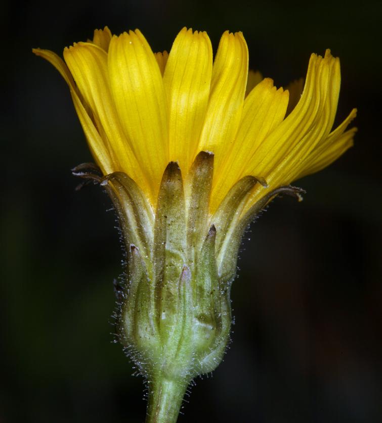 Crepis runcinata