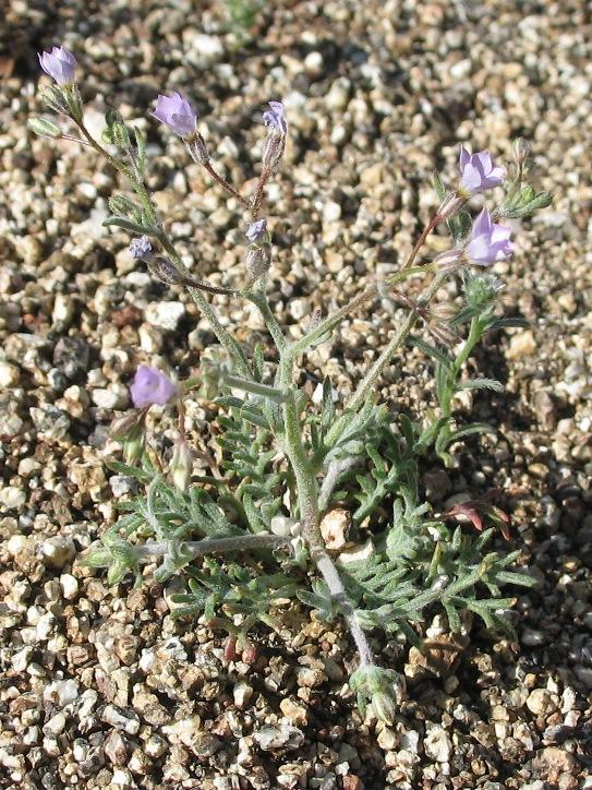 Gilia brecciarum
