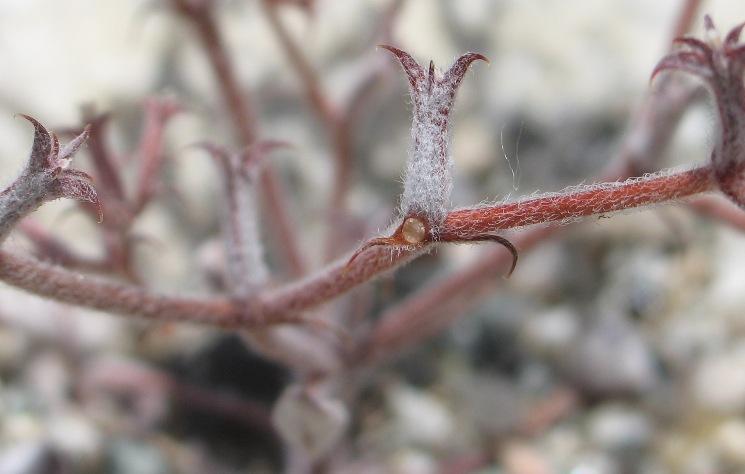 Chorizanthe xanti var. leucotheca