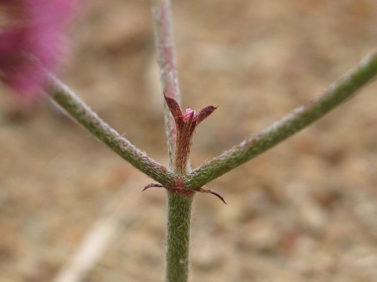 Chorizanthe staticoides