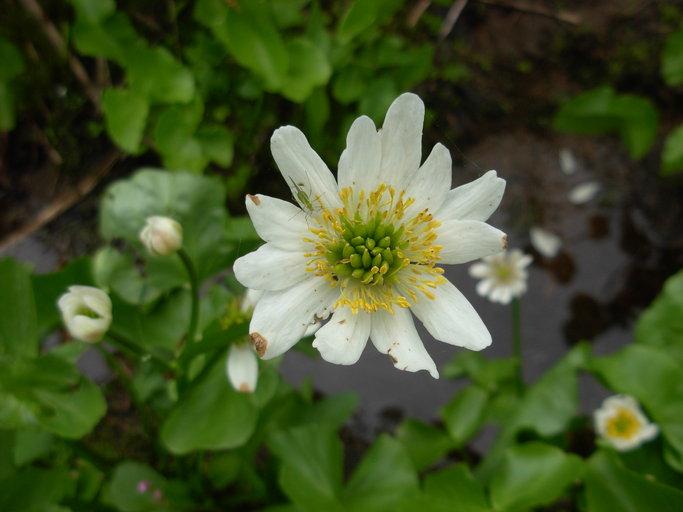 Caltha leptosepala ssp. howellii