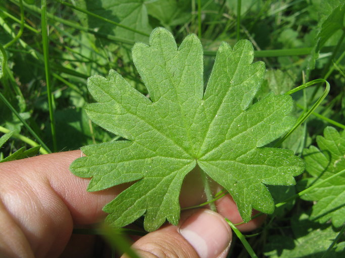 Sidalcea malviflora ssp. dolosa