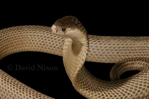 Naja kaouthia (Monocled cobra) (Naja siamensis)Naja Kaouthia