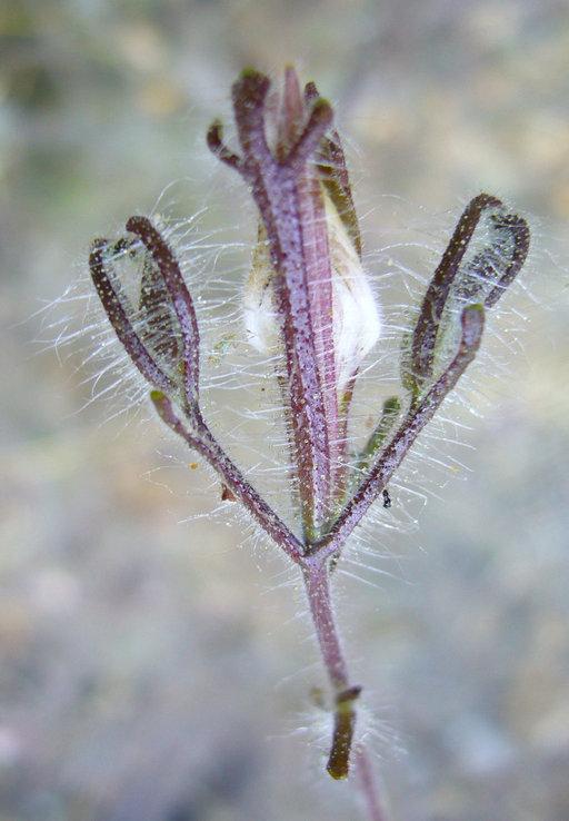 Cordylanthus pilosus ssp. hansenii