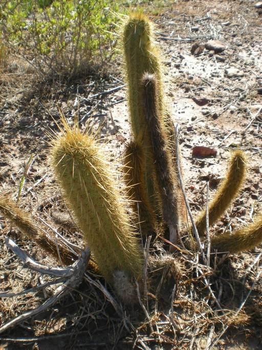 Bergerocactus emoryi