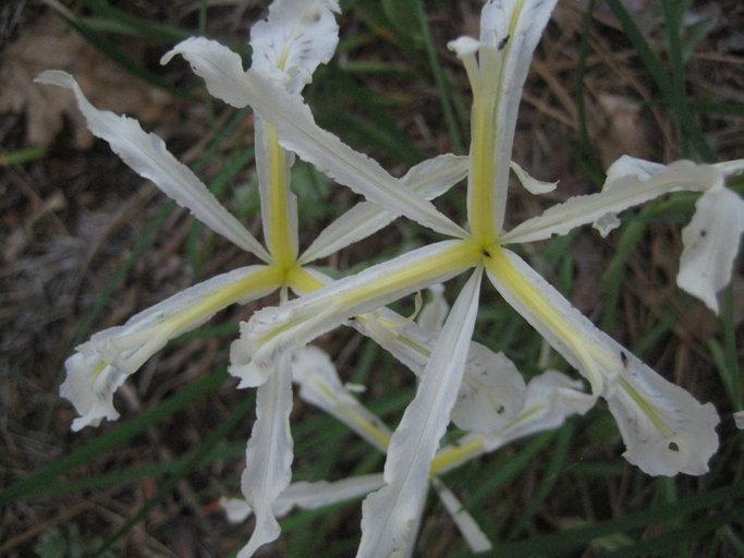 Iris tenuissima