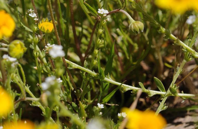Allocarya leptoclada image