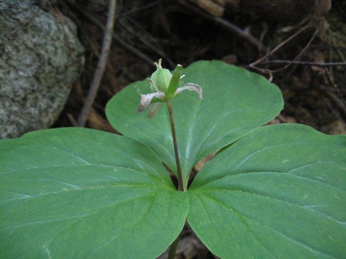 Trillium ovatum ssp. oettingeri