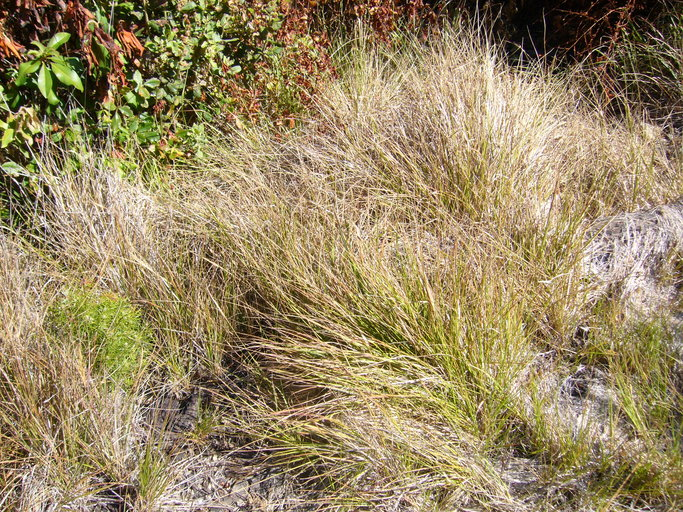 Calamagrostis fasciculata image