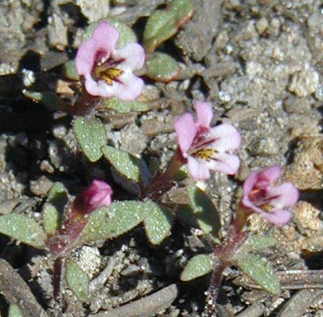 Diplacus jepsonii