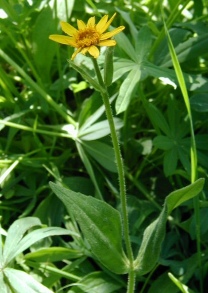 Arnica diversifolia