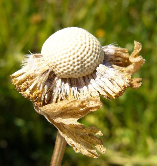 Helenium bigelovii