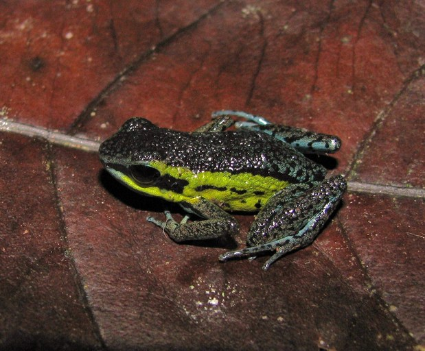 Risultati immagini per Ameerega Pongoensis