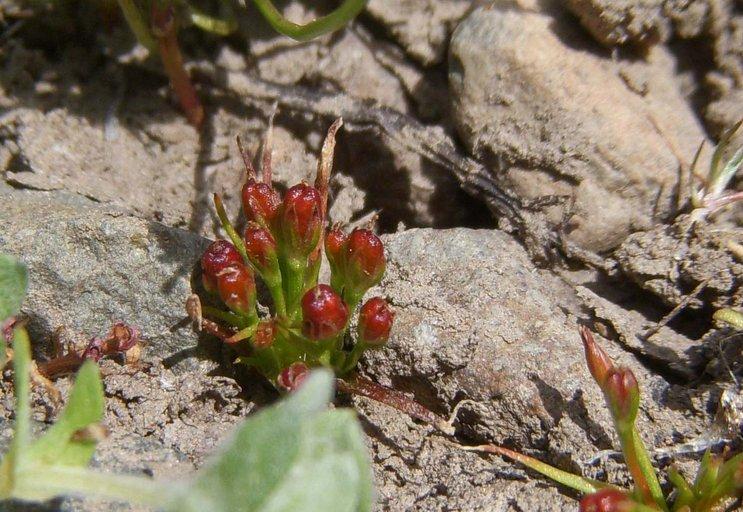 Juncus hemiendytus var. abjectus