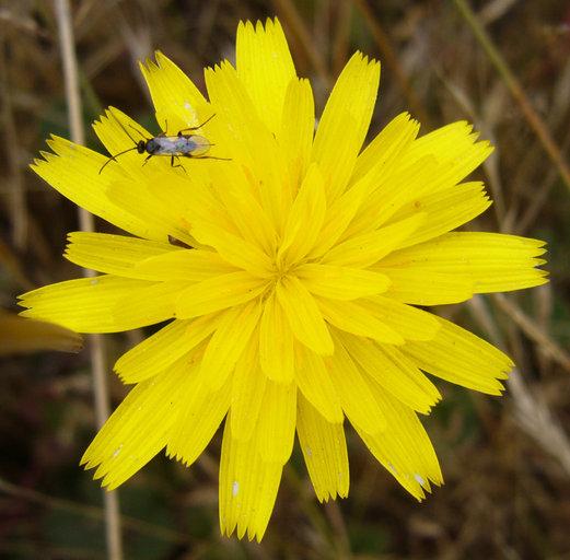 Leontodon saxatilis ssp. saxatilis