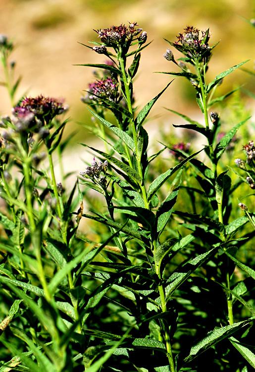 Saussurea americana