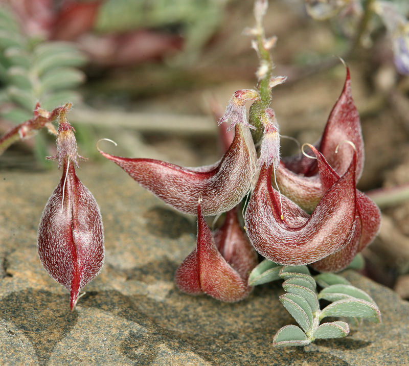 Astragalus inyoensis